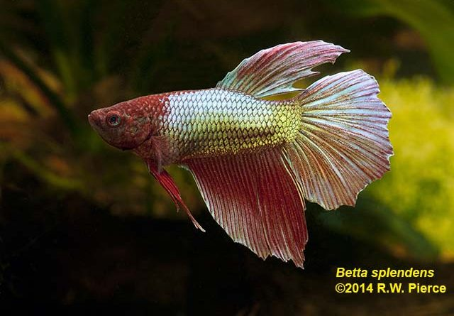 Why does the betta fish require a specific water temperature to survive in a tank?